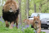 Enjoy incredibly close encounters with some of Africa's magnificent animals as you take a drive around BBC's Animal Park, Longleat Safari Park.