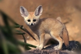 See the Fennec Foxes at Drusillas Park near Camber Sands