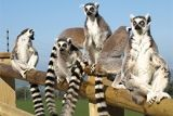 Meet the Ring-tailed Lemurs at the Welsh Mountain Zoo
